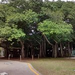 A Banyan tree that covers an acre of ground