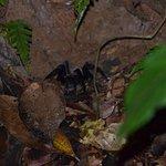 Tarantulla on night hike with Chico