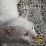 Настоящий сиамский кот:)