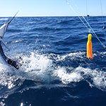 Sailfish jumps