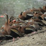 The black-bellied whistling ducks - well just a few of them!