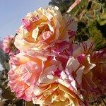 Roses from rose garden