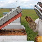 Chinook Honey Company's owner, Art, checking on the bees.