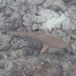 Black tipped reef sharks