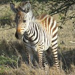 Young zebra foal, indication of healthy herds breeding. By Delta Willis