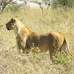 A lioness studies a watering hole, prime place to stalk a meal. With patience you may see the ch