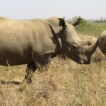 Rare white rhino- Nairobi National Park is one of the few places you can see white and black rhi