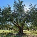 Un olivier du domaine sous le soleil
