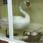 a very large swan with large eggs