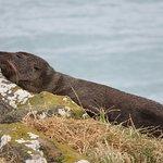 New Zealand Fur Seal basking in the sun.