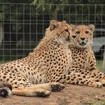 Our car and the honeymoon suite are in the background behind these two cheetahs.