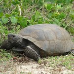Gopher Tortoise on Marco Island
