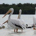 White Pelicans on sandbar