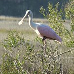 Beautiful Roseate Spoonbill along the Moody Pond birding sites on Little St. Simons Island, GA