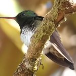Snowy-bellied Hummingbird on the grounds.