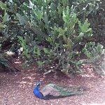 Peacock resting