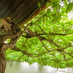 Wine tree in the Hotel Garden