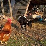 Poules, cochons d'indes, chèvres, lapins, chiens et un chat, tous très agréables et gentils !