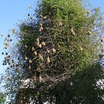 The weaver birds colony in front of the reception
