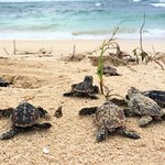 Hawksbill turtles hatching!
