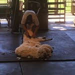 A sheep shearing demonstration at the Farm Show, Caversham Wildlife Park.