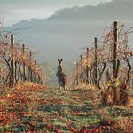 A kangaroo and her friend in the vines early one Autumn morning