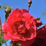 rose dans un jardin très fleuri (prix gite fleuri)