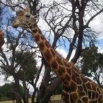 dale de comer a las jirafas
