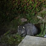 Wombat on the bus tour