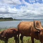 Cows near Lake