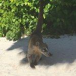 les coatis sur la plage