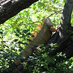 an iguana climbing the tree.