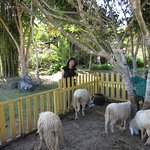 Sheep herd next to Pankled coffee