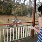 Emus visit nearly every day.
