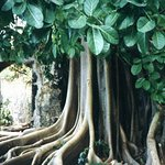 Ficus tree in the sugar mill ruins