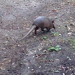 Armadillo on one of the trails