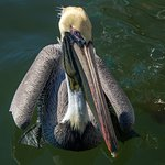 mr pelican begging for fish