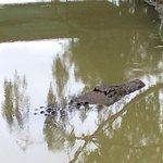Saltwater crocodile (Acco)