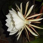 Lady of the Night - most photographed flower in our garden
