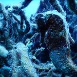 Hippocampe / sea horse