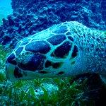 Tortue verte / Green turtle