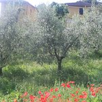 olive trees of Castello Il Palagio