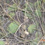 A low growing prickly pear cactus -- the reason you DO NOT want to bring pets or wear open-toe s