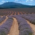 Bridestowne Lavender farm 60 Klms away