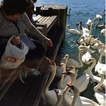 Feeding the Swans at Lake Zurich (end of Limmat River)