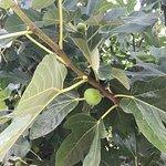 fresh figs for breakfast,unbelivale!