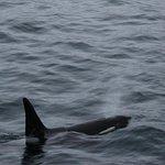 Orcas from Polar Girl