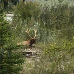 Sights on the way into tow, Elk at rest, Jasper Information Centre, 500 Connaught Dr, Jaspser, A