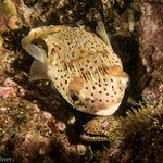 Pufferfish with Golden Speckled Eel January 2017