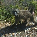 Baboon Cape Point